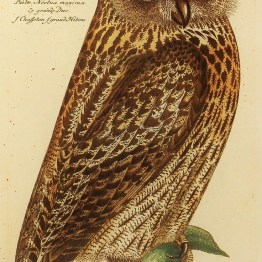 public domain vintage owl image 16