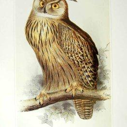 public domain vintage owl image 17