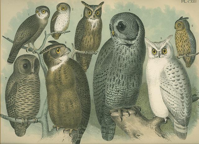 public domain vintage owl image 3
