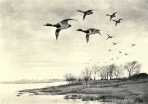 a public domain black and white book illustration of flying ducks and geese