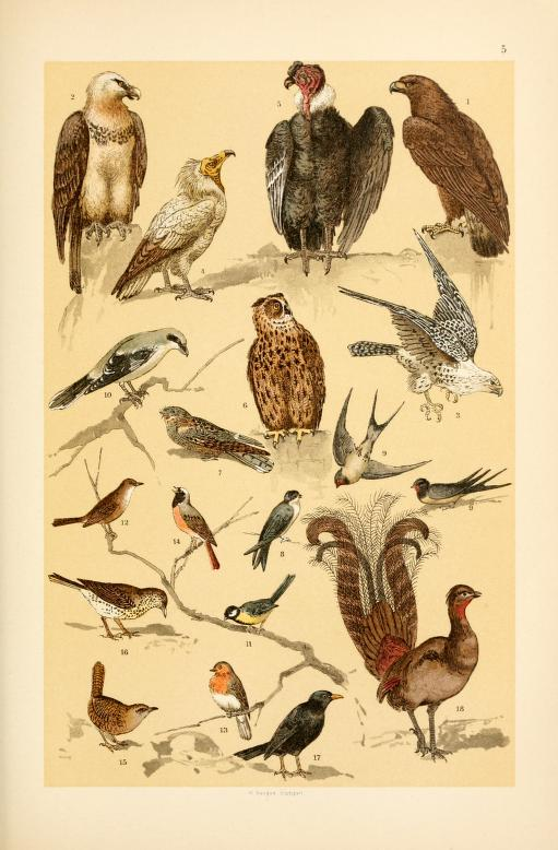 These free vintage illustrations of wild birds are from an out of copyright science book for kids