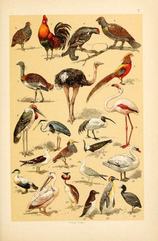 These are free vintage illustrations of wild birds from an out of copyright childrens science book in the public domain