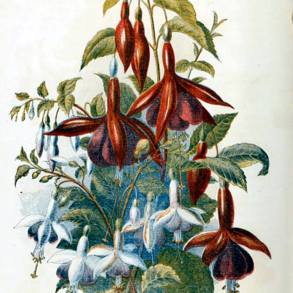 This is a free vintage illustration of vibrant country flowers and fuchsias from an antique Childrens book in the public domain