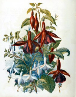 free antique book illustrations of country flowers fuschias