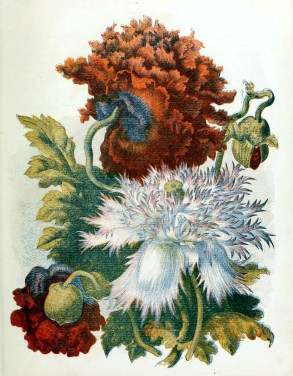 free antique book illustrations of multicolor country flowers dahlias