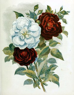 free antique illustration of red and white country flowers