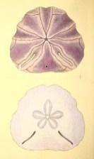 antique scientific illustration of purple sand dollars