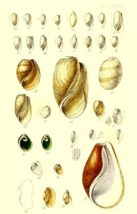 antique scientific illustration of seashells