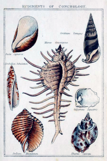 Free antique science illustration of different shells from 17th century shell publication