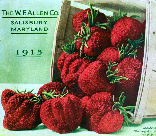 A free vintage illustration of a big basket of plump strawberries