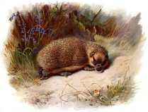 Free antique illustration of a British Hedgehog