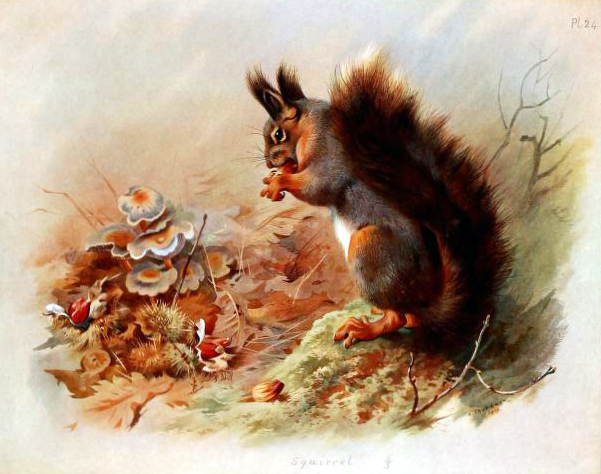 Free vintage book illustration of British Squirrel