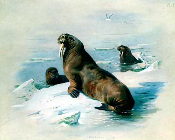 An antique book illustration of a British Walrus