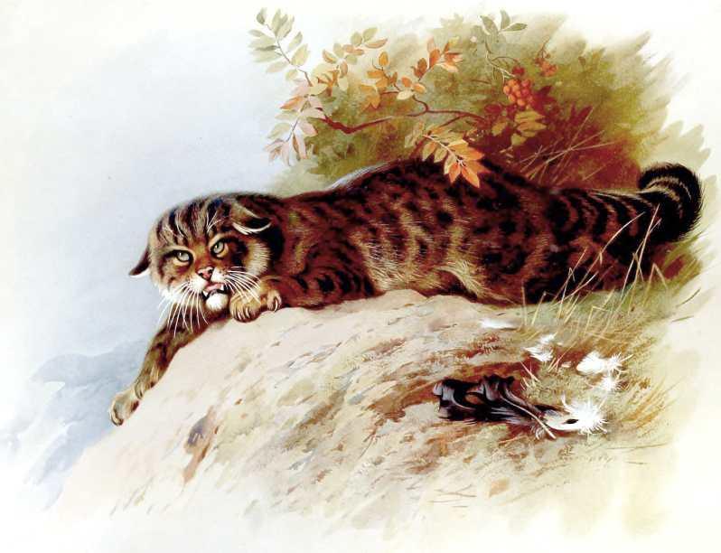 Antique book illustration of British wildcat - free to use