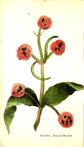 A free antique botanical illustration of a round-headed buddlea plant
