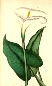 Enjoy this free vintage botanical illustration of a calla lily