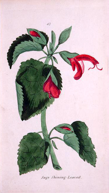 A free vintage botanical illustration of sage