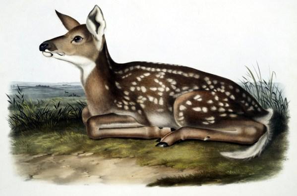 vintage illustration of a baby deer fawn