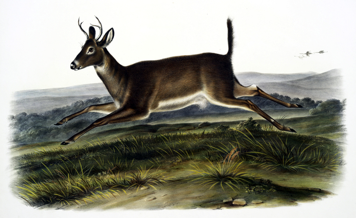antique illustration of deer jumping in meadow