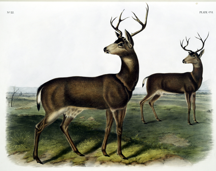 vintage illustration of two standing deer turning their heads