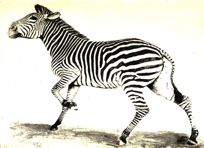 19th century vintage print of a zebra study - public domain