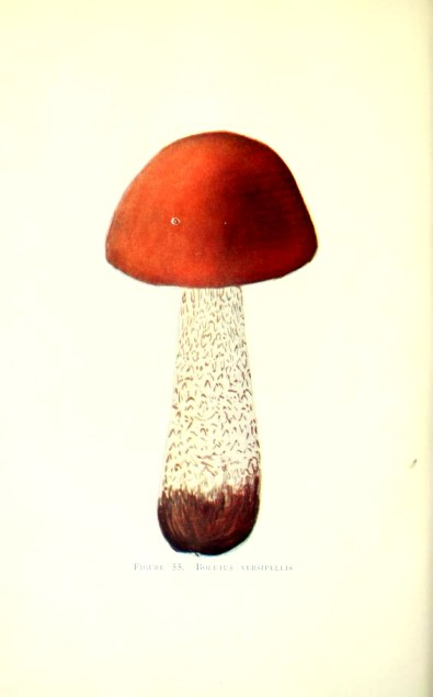 Scientific mushroom illustrations from 20th century Minnesota mushroom species book