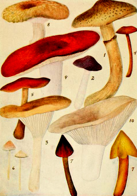Early 20th century mushroom illustrations from minnesota