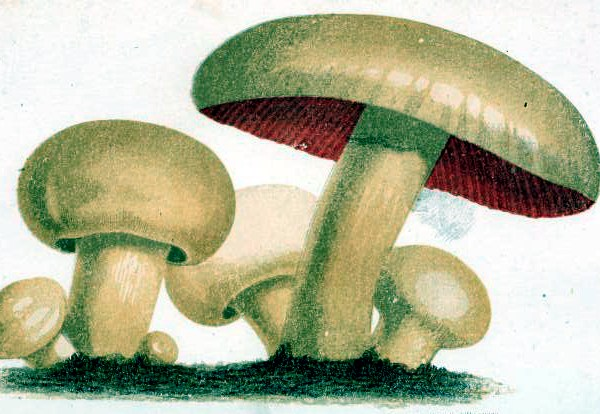 19th century scientific mushroom illustrations from Champignons et truffes