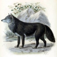 canine images of a classic wolf from the 19th-century
