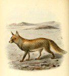 Canine images of a 19th-century desert fox.