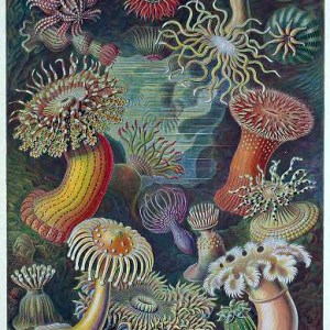 Free public domain Ernst Haeckel Actiniae Sea Anemone illustrations from the late 19th-century.