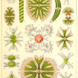 Ernst Haeckel Desmidiaceae Algae Illustration