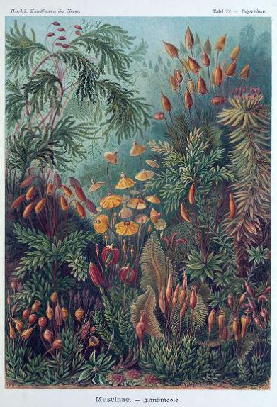 Free Ernst Haeckel Muscinae illustration from the 19th-century public domain work, Art Forms in Nature.