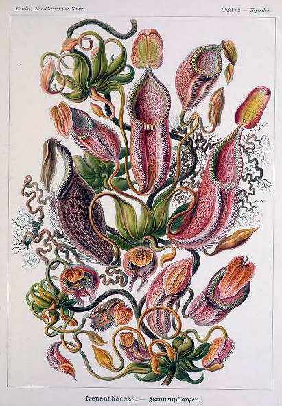 Free public domain Ernst Haeckel Nepenthaceae Pitcher Plant Illustration from the late 19th-century.