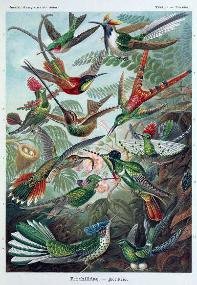 Free Ernst Haeckel Trochilidae Hummingbird illustration from the late 19th to early 20th century public domain