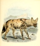 Vintage heyna canine images from the 19th century