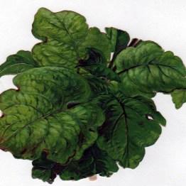 vintage nature illustrations lettuce cabbage