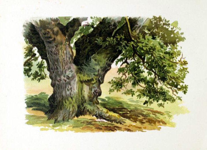 vintage tree illustration from late 19th-century