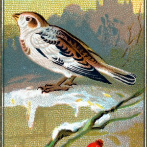Free Snow Bunting bird illustration from the early 20th-century