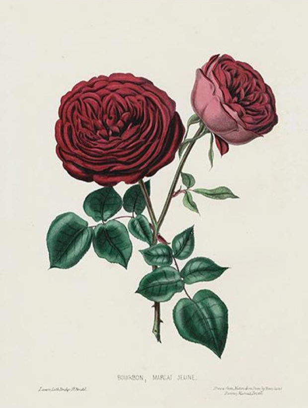 Public domain illustration of a dark rose