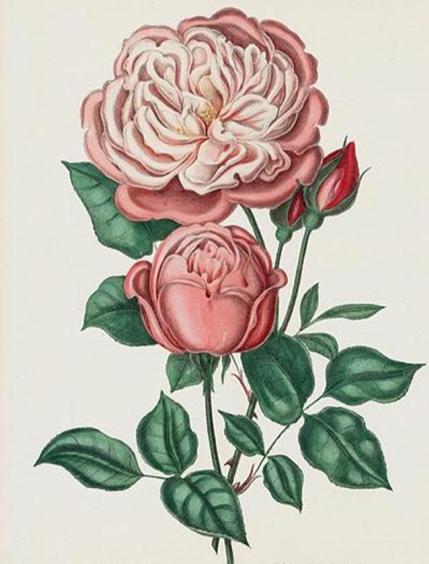 Public domain pink rose illustration