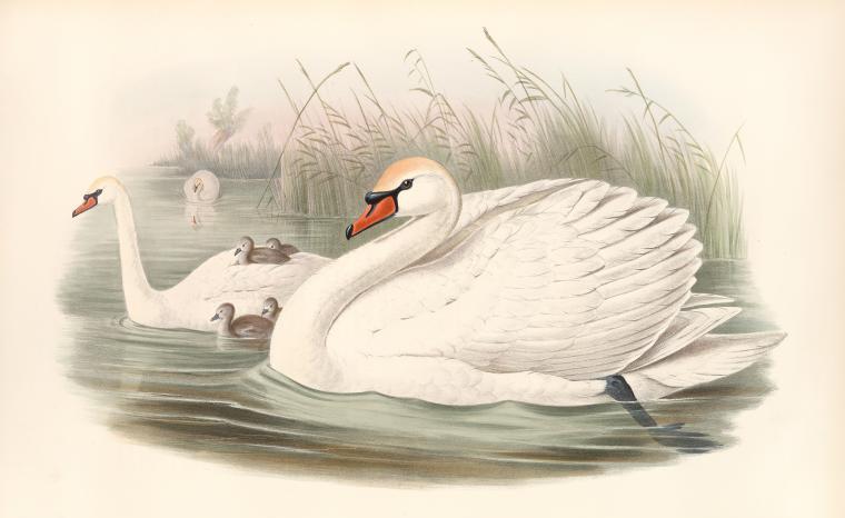 public domain swan illustration from 19th century