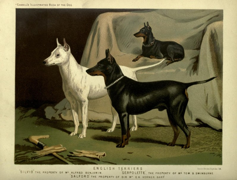Free vintage english terriers illustration public domain.