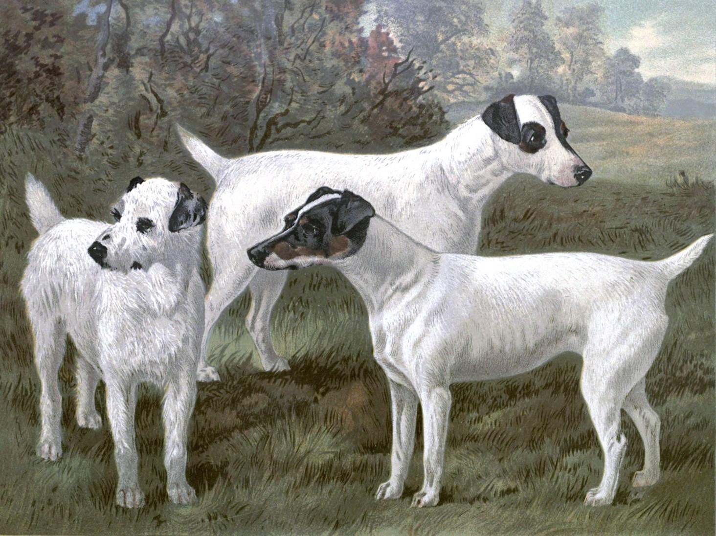 Free vintage fox terriers illustration public domain.