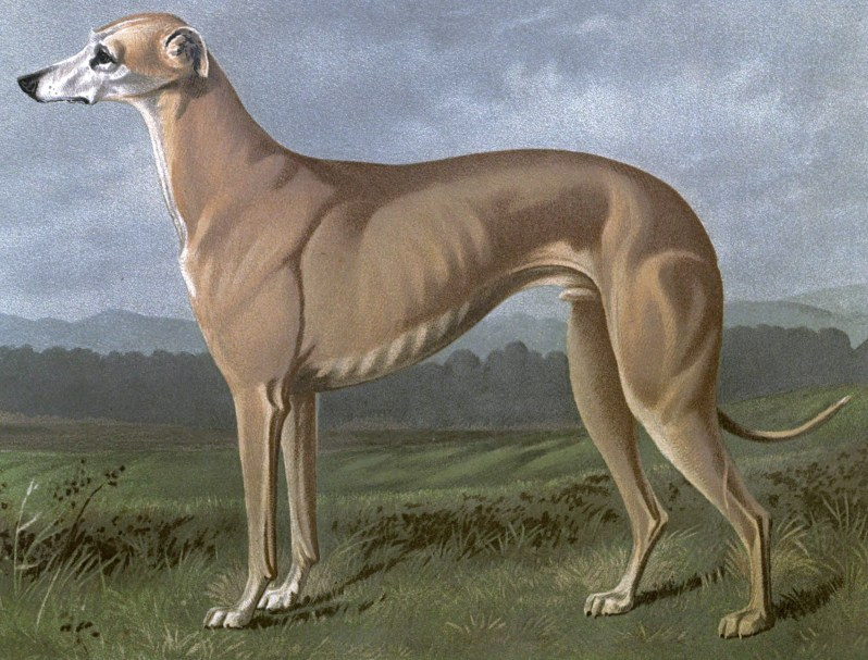 Free vintage greyhound dog illustration public domain.