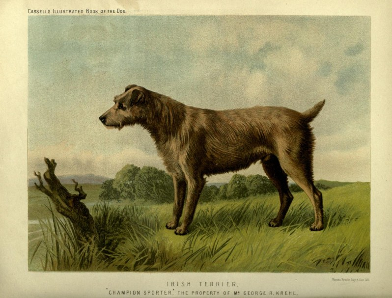 Free vintage irish terrier illustration public domain.