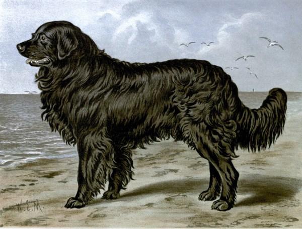 Free vintage newfoundland dog illustration public domain.