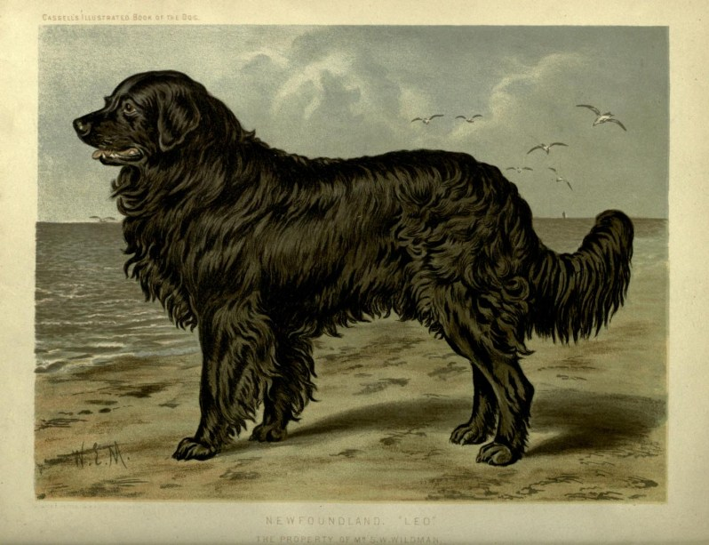 Free vintage newfoundland dog illustration public domain.