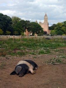 Pigs at Quarr Abbey