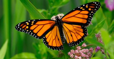 Butterflies - Fluturi